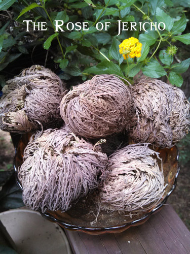 Rose of Jericho Plant Money, Success, Wishes, Blessings