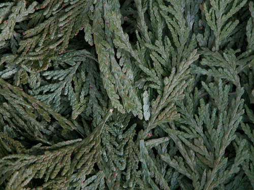 Cedar Tips  ~ Herbal Alchemy