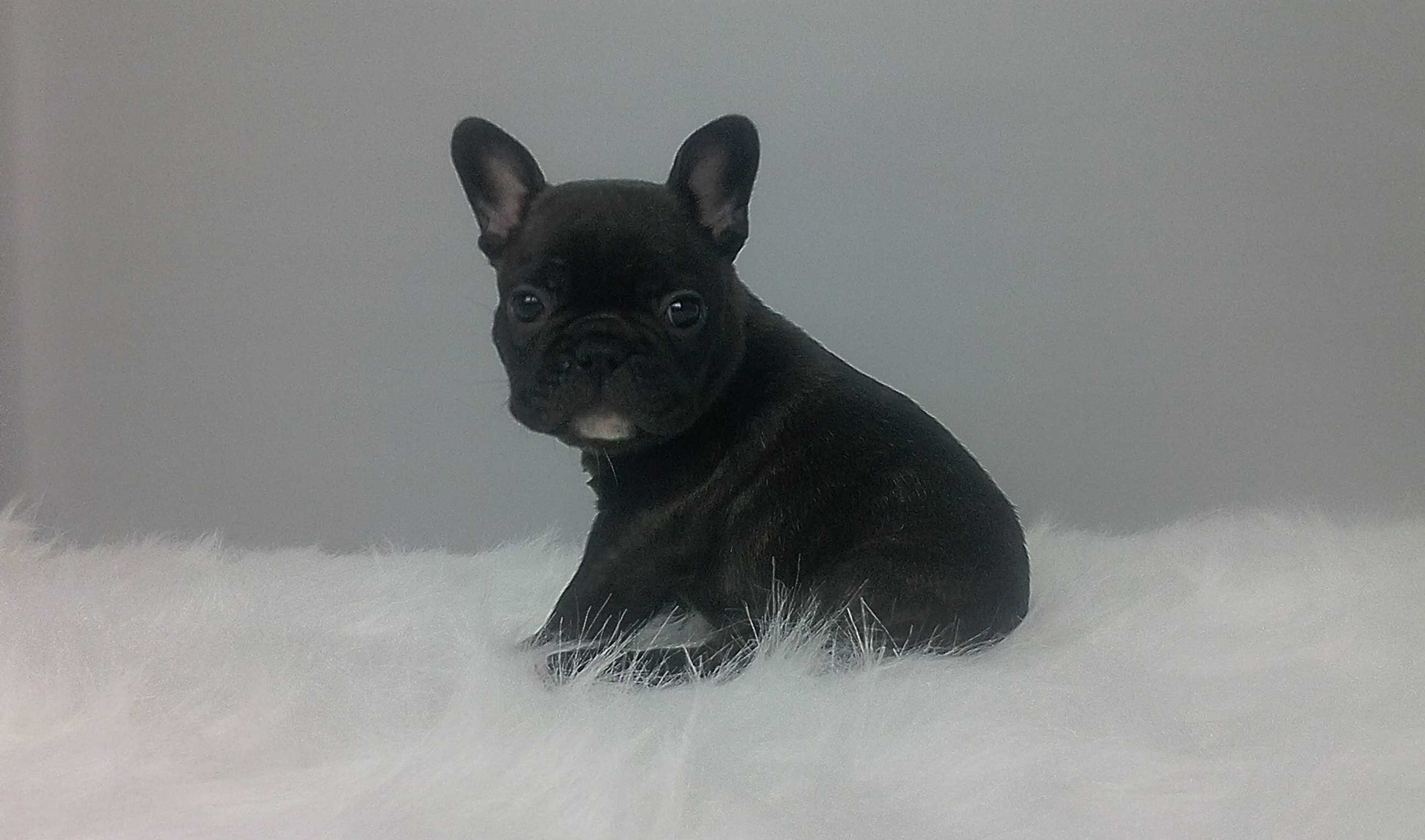 Frenchie puppie laying on a fluffy blanket