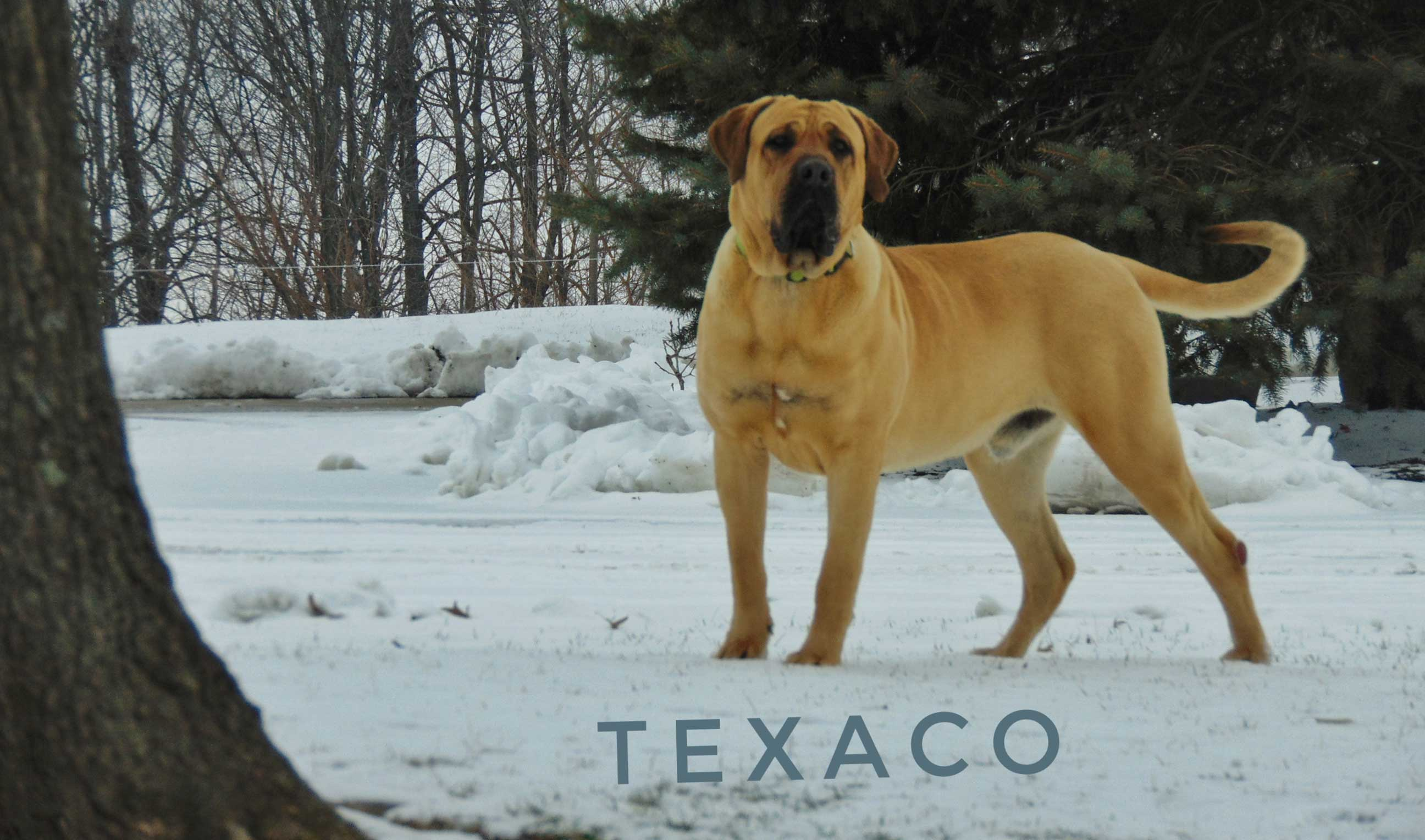A tan dog standing in the snow beside a tree
