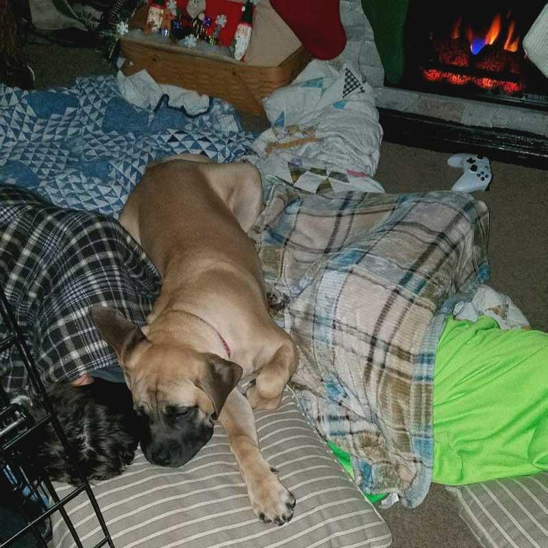 English Mastiff lying next to sleeping boy