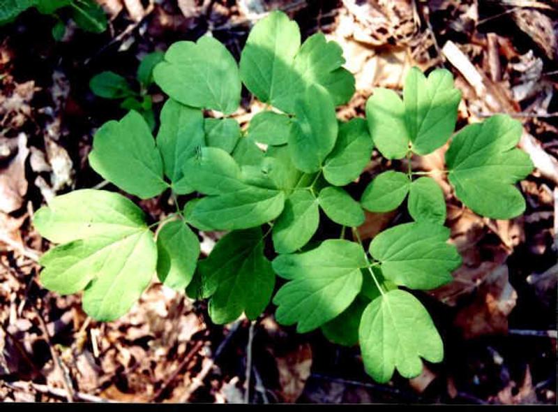 Blue Cohosh Plant