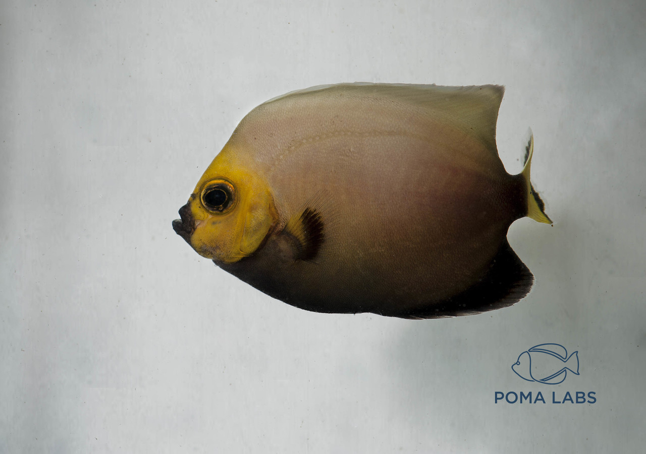 Captive-bred Conspicuous Angelfish with 30 day guarantee