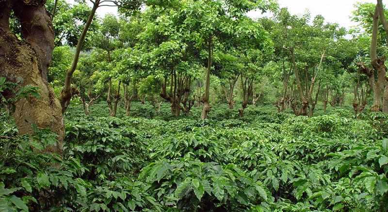 Shade Grown Coffee Farming