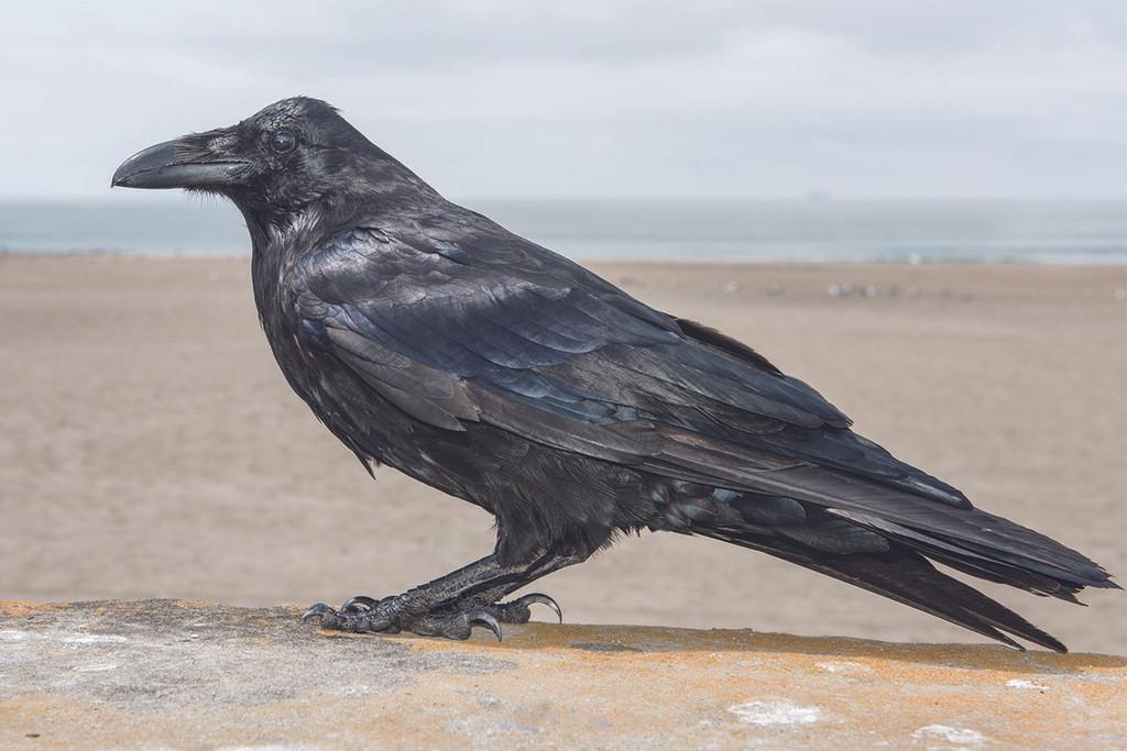 """Tony Mendoza, """"Crow"""""""