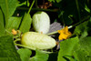 Boothby's Blonde Cucumber - Organic *