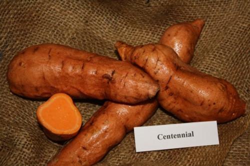 Centennial Sweet Potato -  April to June Shipping