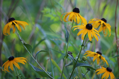 Heirloom seeds flowers perennial flowers page 1 annies black eyed susan rudbeckia mightylinksfo