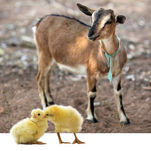 Goat with 2 Chickens