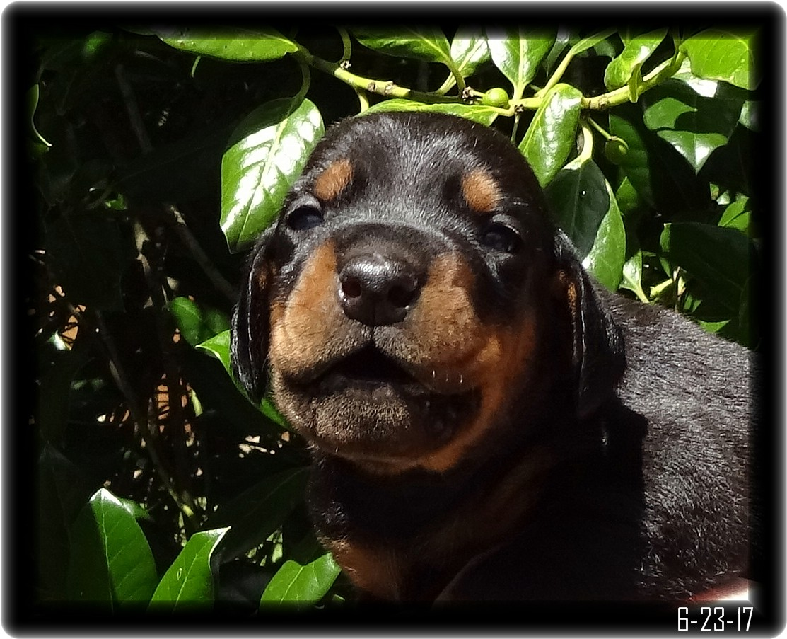 Dobie Puppy, Dexter Opening his eyes, How Cute am I?