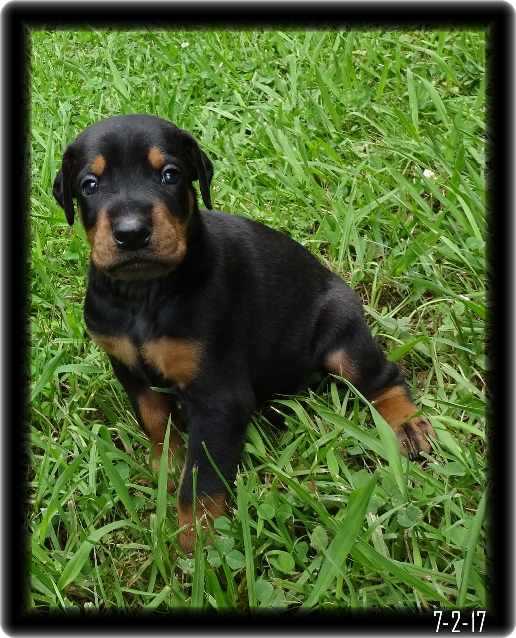 Dexter the Chunky little Doberman Pup Growing