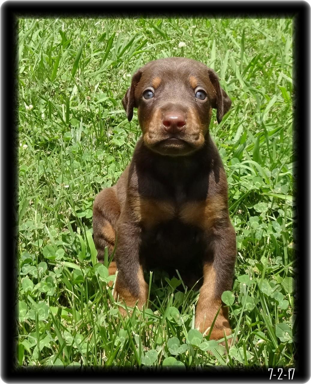 Doberman Pup