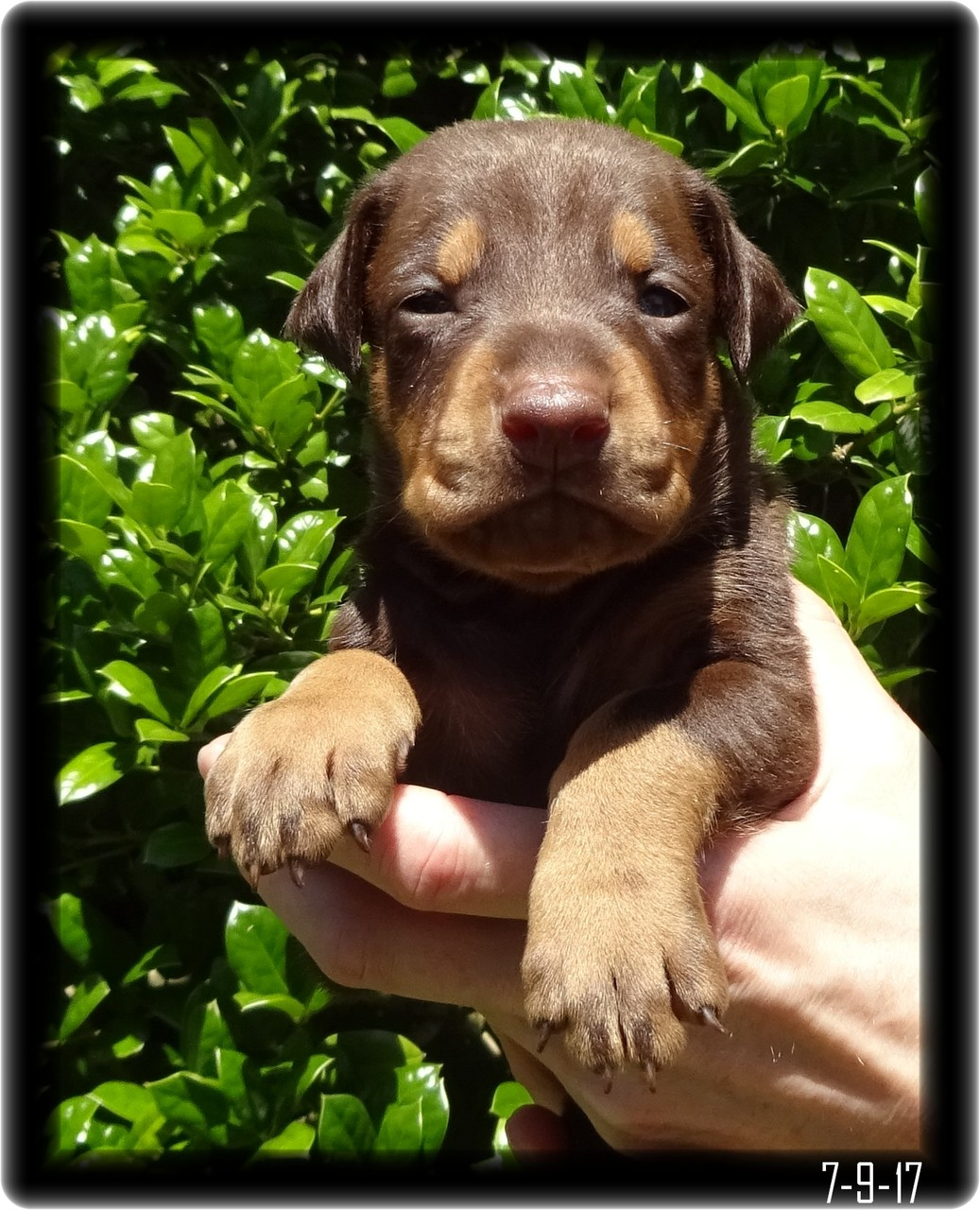 Oliver Red and Tan Dobie Pup