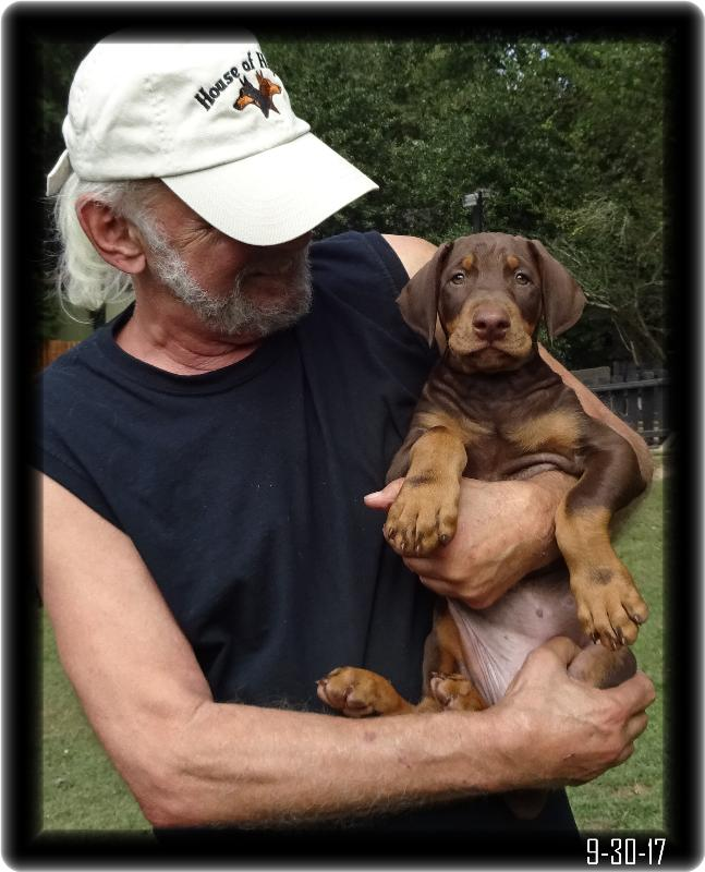 8 week old red dobie pup before ear crop