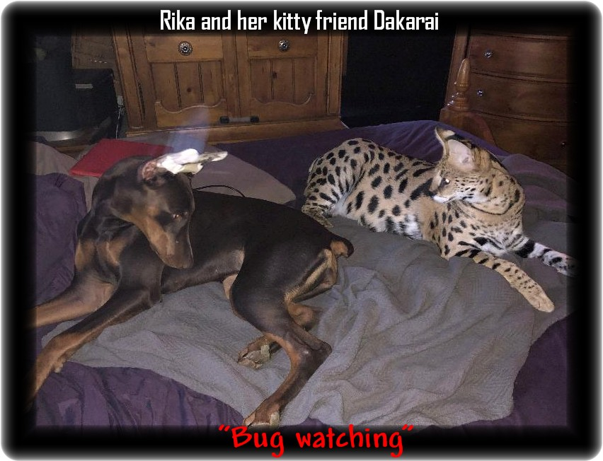 Fredrika...Hoytt's Angel in Disguise - Cody WY / 10-13-18 Rika is home