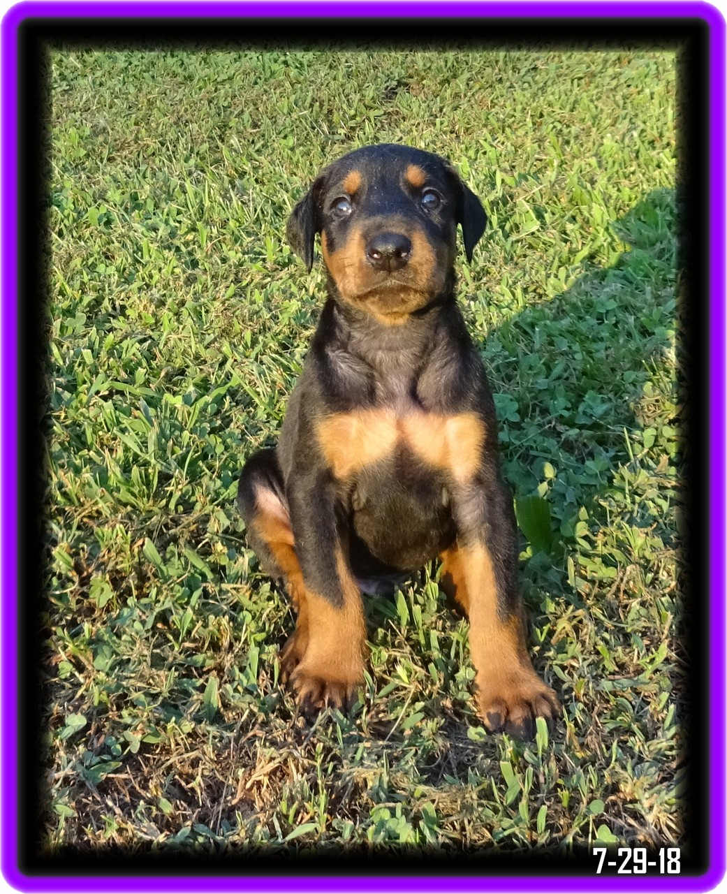 Dawson - Star baby  / Available -In training