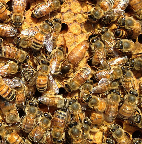 Package of Bees  - Late April 2019 Pick Up