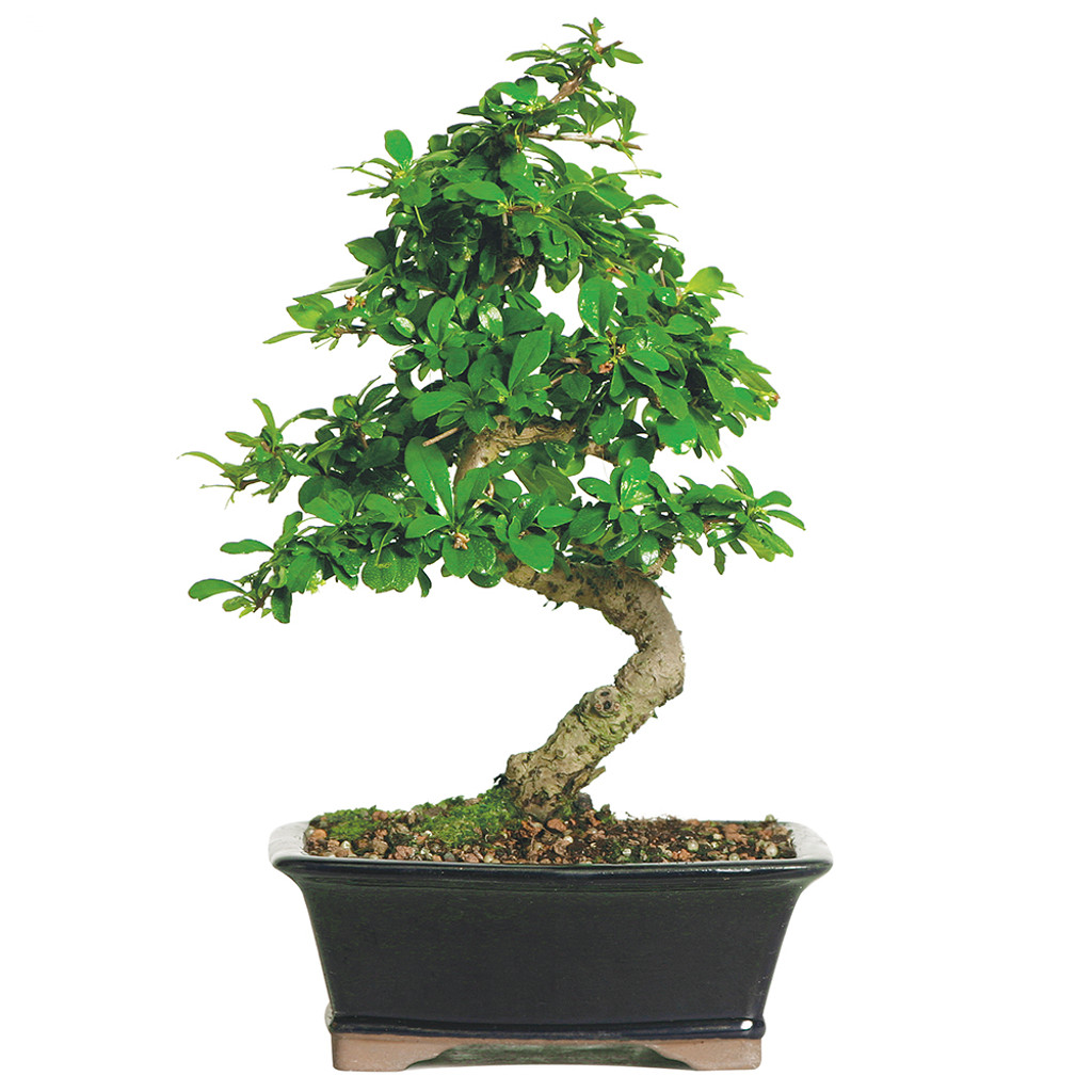 Fukien Tea Carmona Indoor Bonsai Tree Wiring Time Medium Size