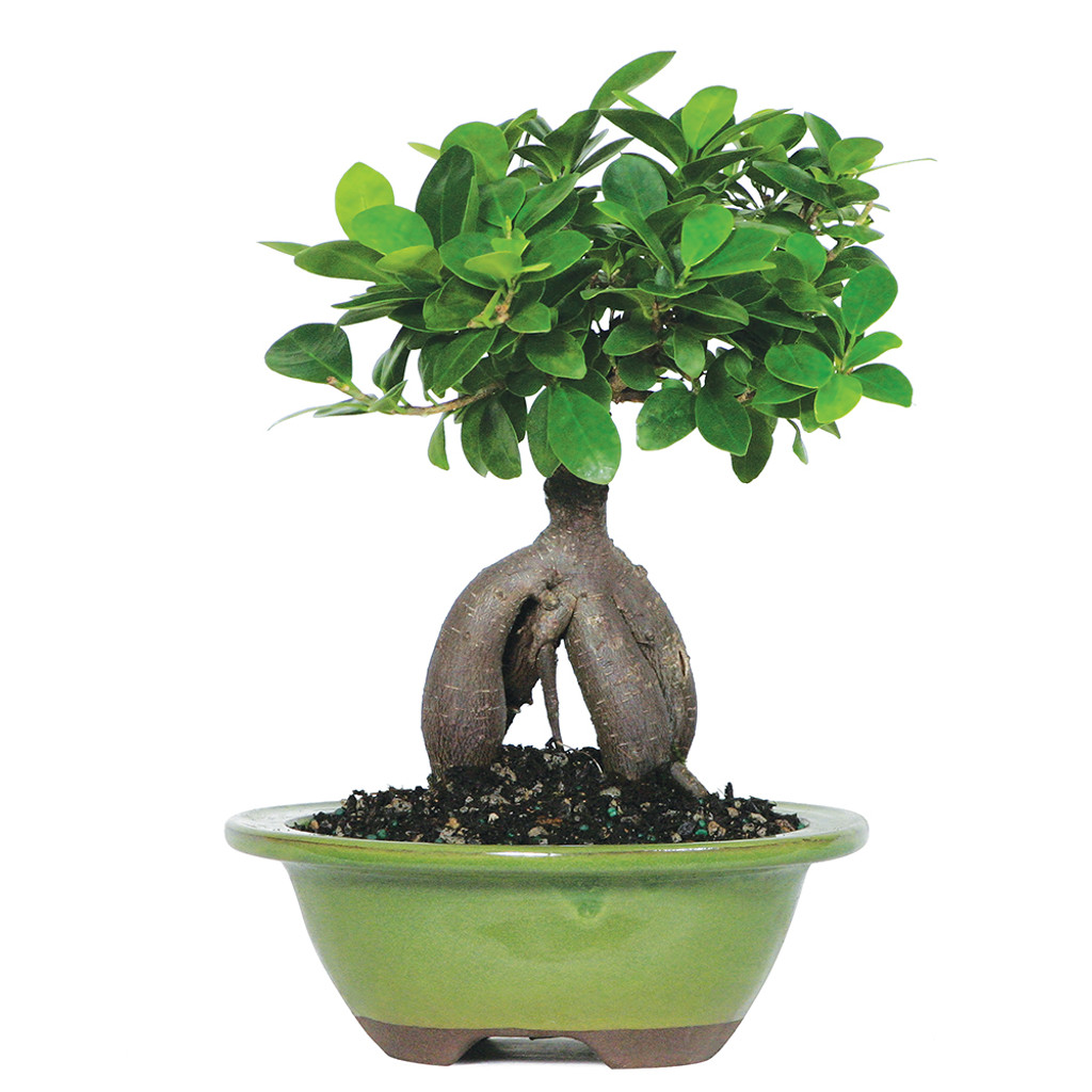 ginseng grafted ficus microcarpa indoor bonsai 6 8. Black Bedroom Furniture Sets. Home Design Ideas