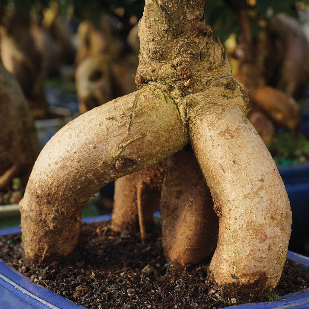 Medium Size Ginseng Grafted Ficus Bonsai Tree Trunk View