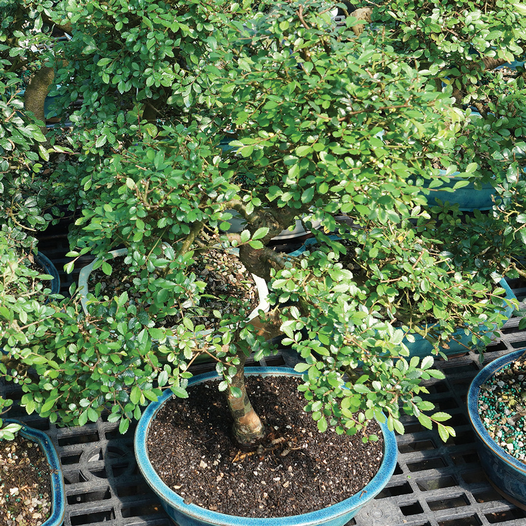 Large Chinese Elm Bonsai Tree Multi Shot