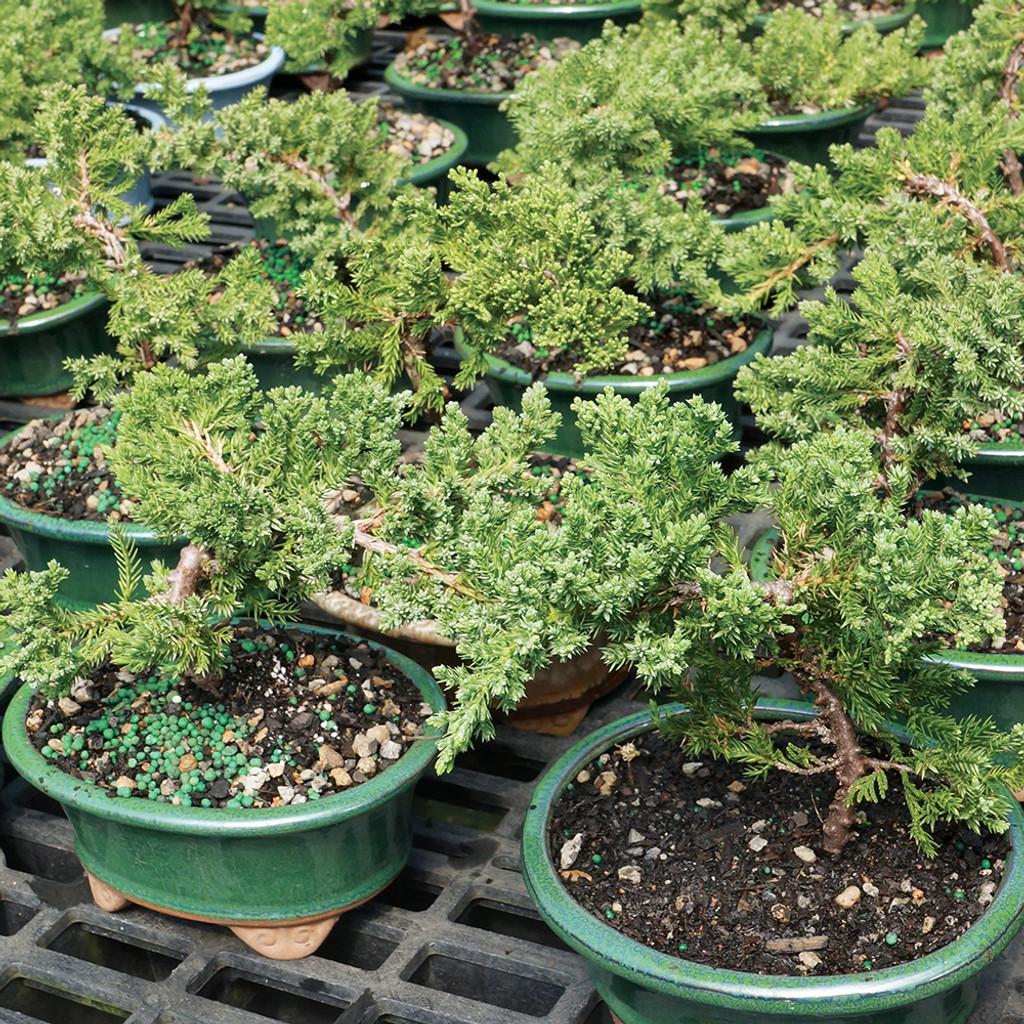 Small Green Mound Juniper Bonsai Tree Multi Shot