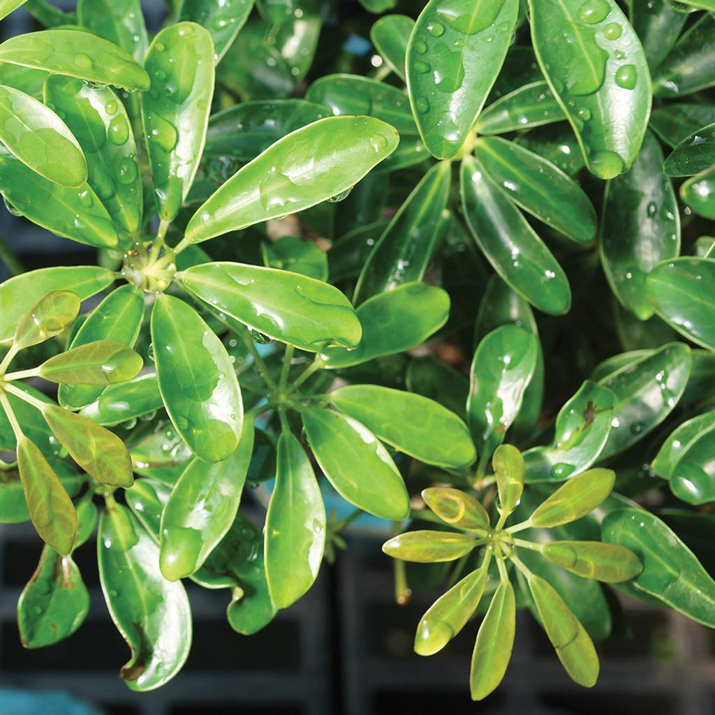 Hawaiian umbrella bonsai tree easy care popular average sun medium size hawaiian umbrella bonsai tree foliage view izmirmasajfo Images