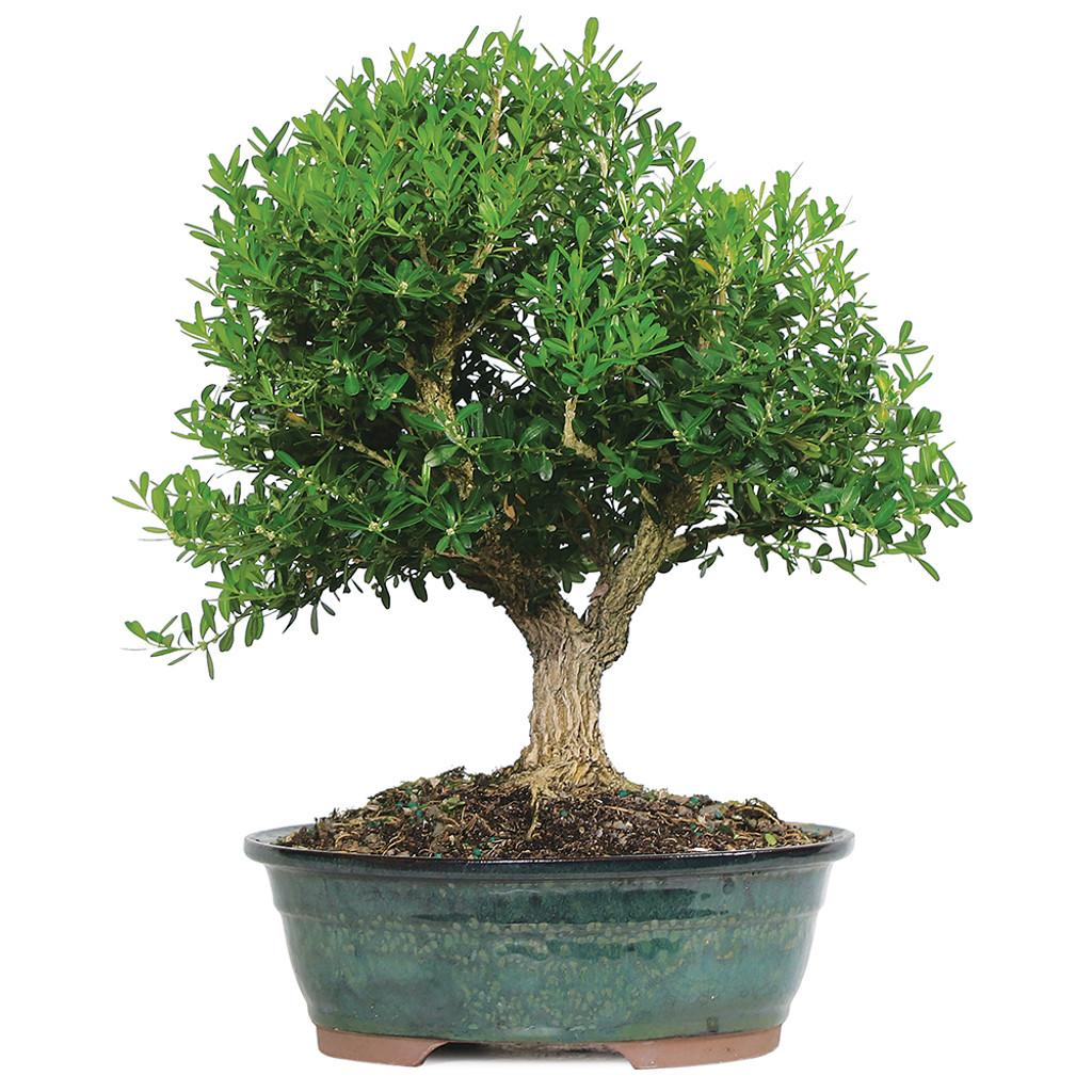 harland boxwood bonsai tree - indoor / outdoor | Brussel\'s