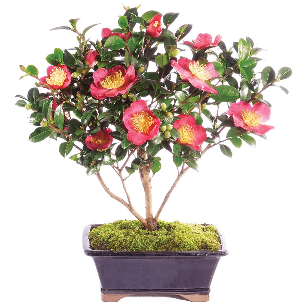 Camellia - DT4015CHF