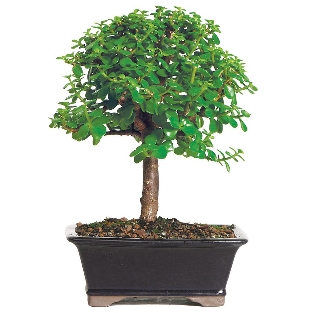 dwarf jade bonsai tree - easy indoor fast growing beginners