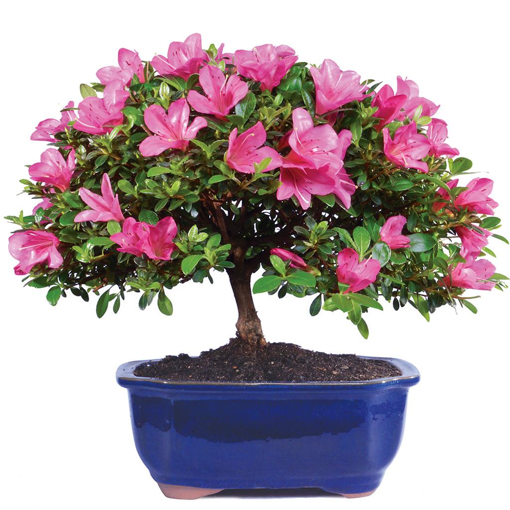 Satsuki Azalea Bonsai Tree Japanese Classic Late Bloom