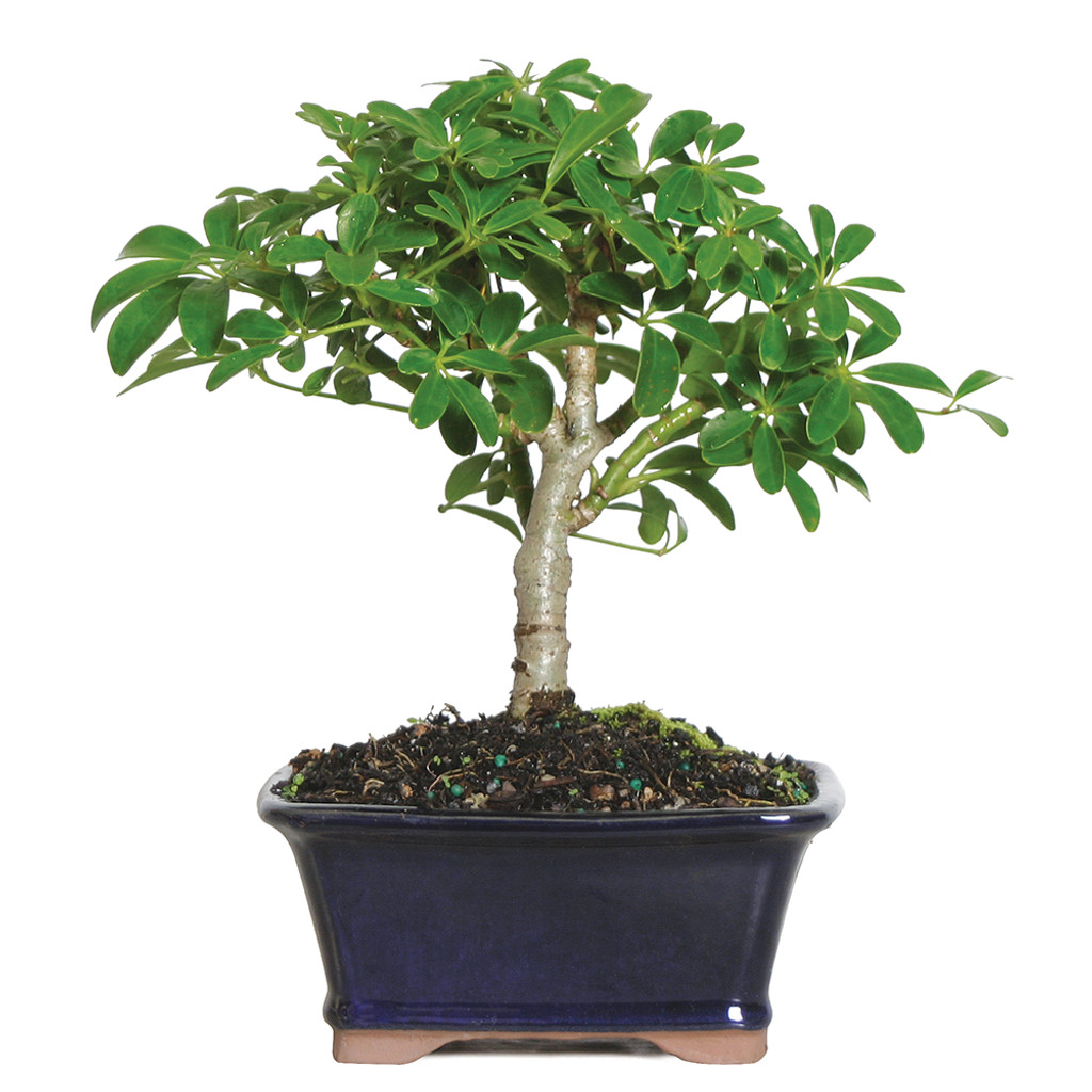 Hawaiian umbrella bonsai tree beginner easy care low light for Bonsai indoor