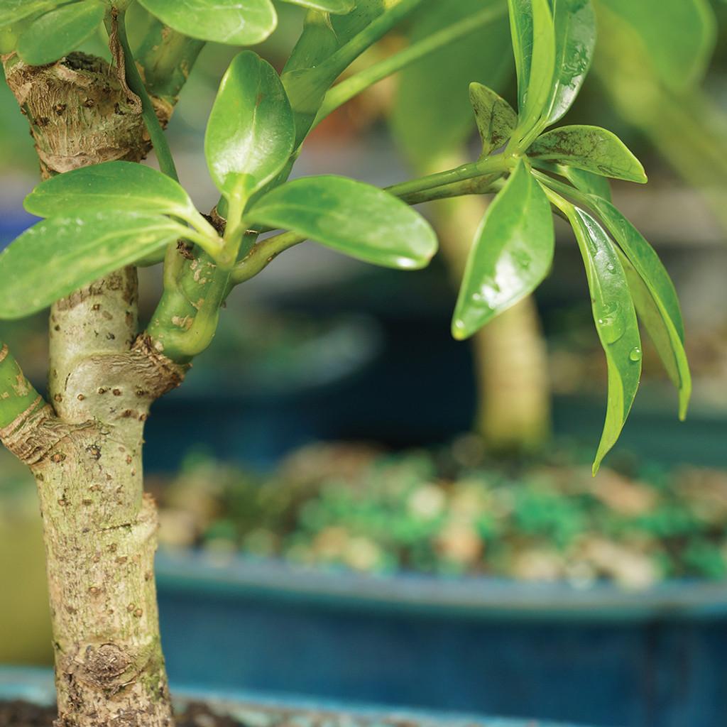 Small Size Hawaiian Umbrella Bonsai Tree Trunk View
