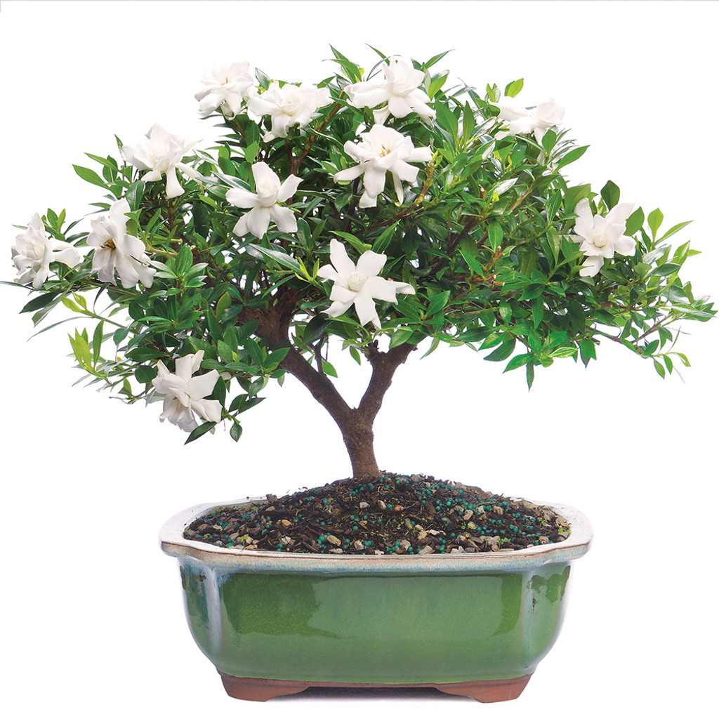 Gardenia Jasminoidy Radicans Outdoor Bonsai Wiring Your Tree