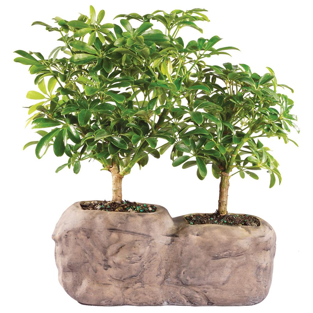 bonsai tree for office. Hawaiian Umbrella In Rock Pot - DT8002ARBR Bonsai Tree For Office W