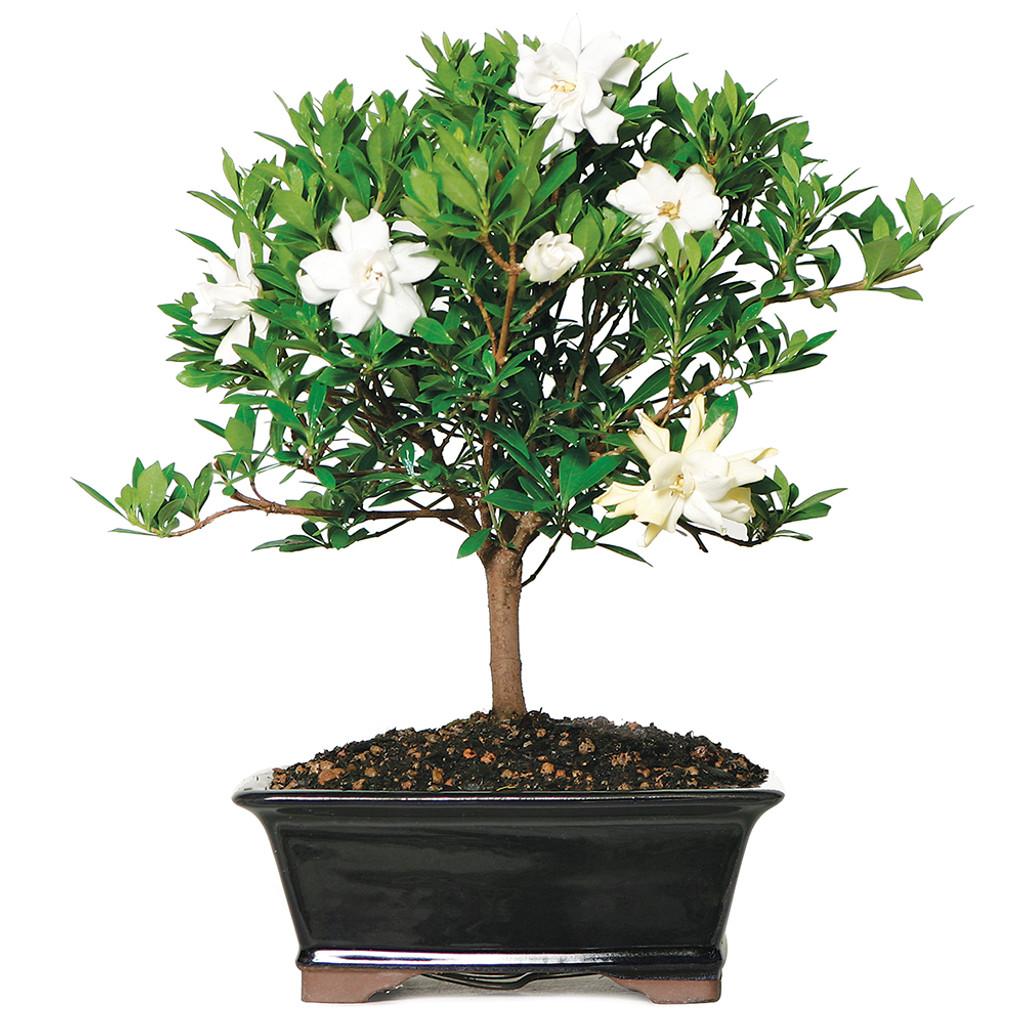 Gardenia Bonsai Tree Flowering Outdoors Wind Free Care