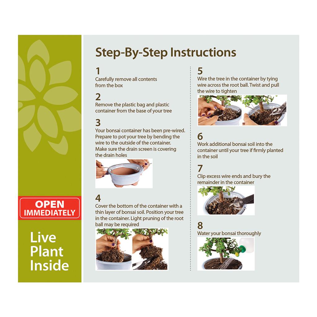 Dwarf Jade Portulacaria Afra Bonsai Kit Wiring Seedlings Dtdjkit
