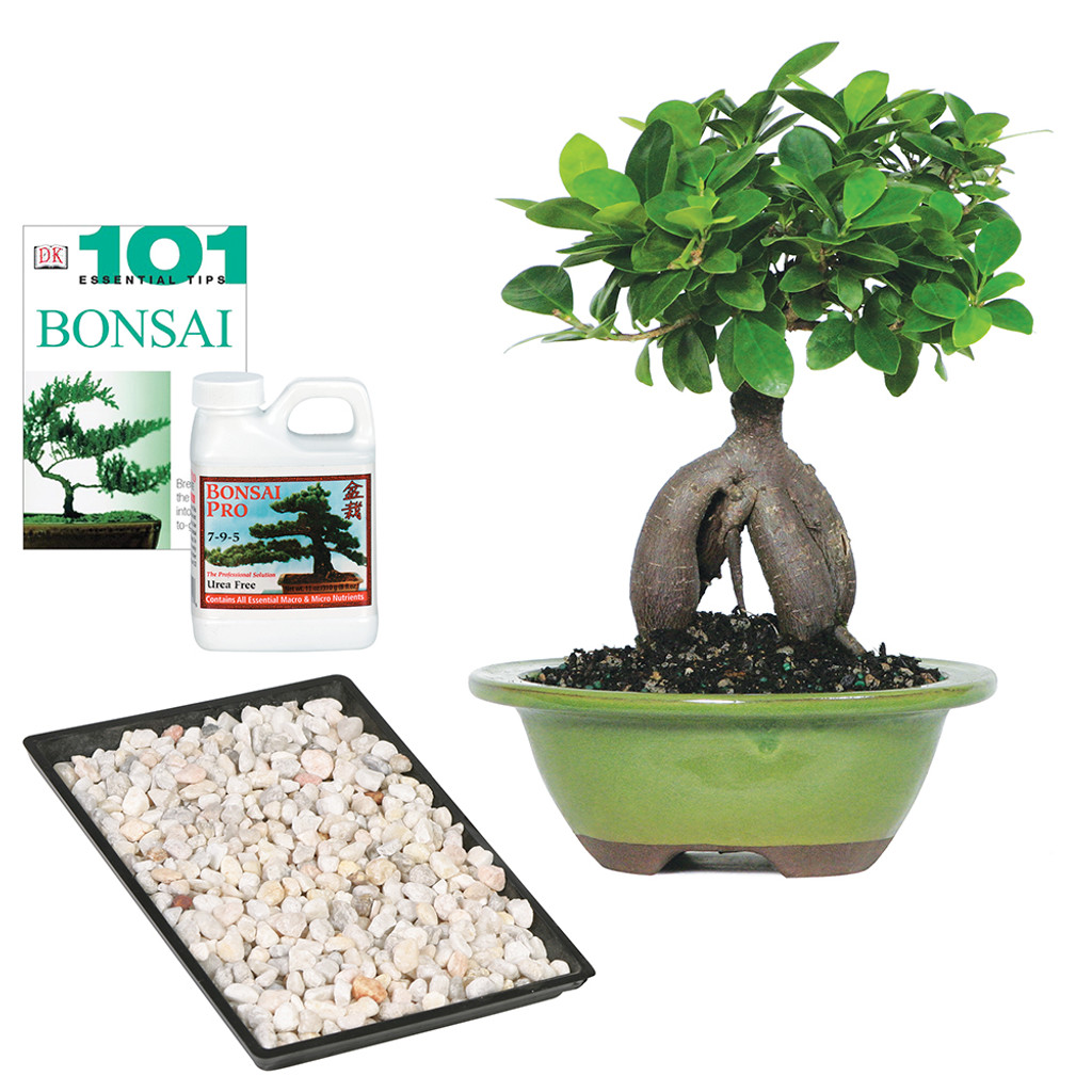 Ginseng Grafted Ficus Complete Gift - CT7012GMFCG