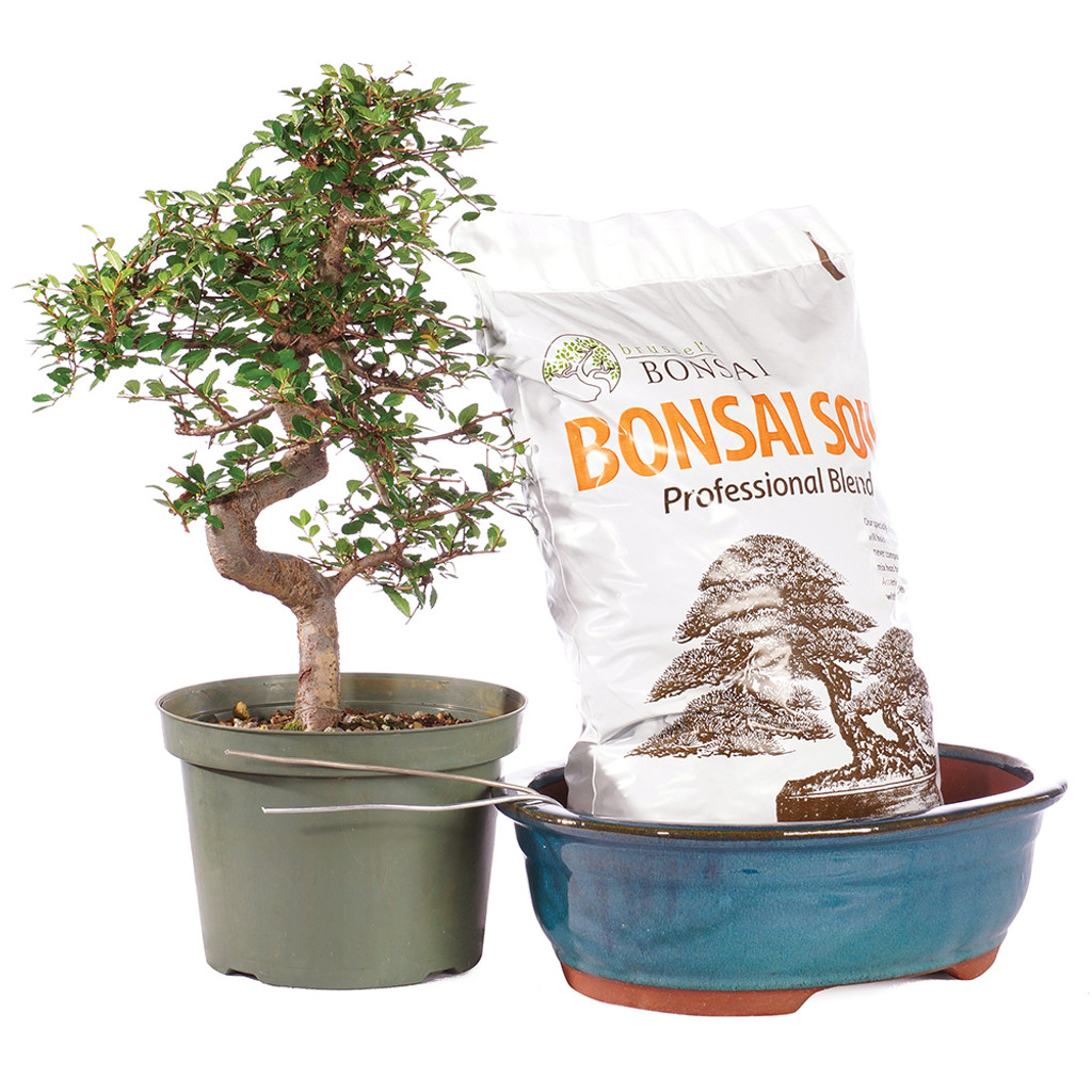 Chinese Elm - CTCE12PIY