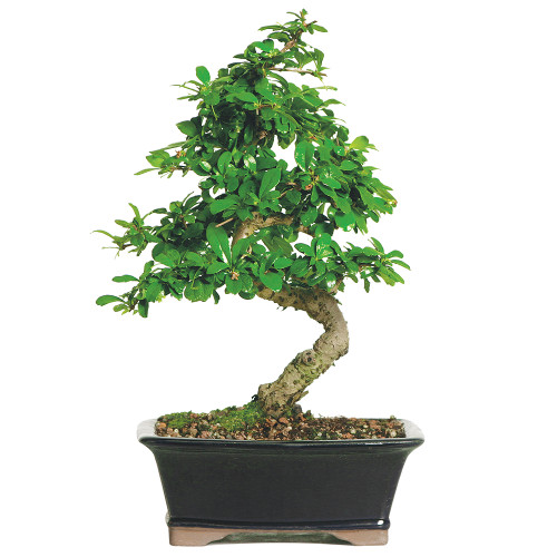 Medium Size Fukien Tea Bonsai Tree