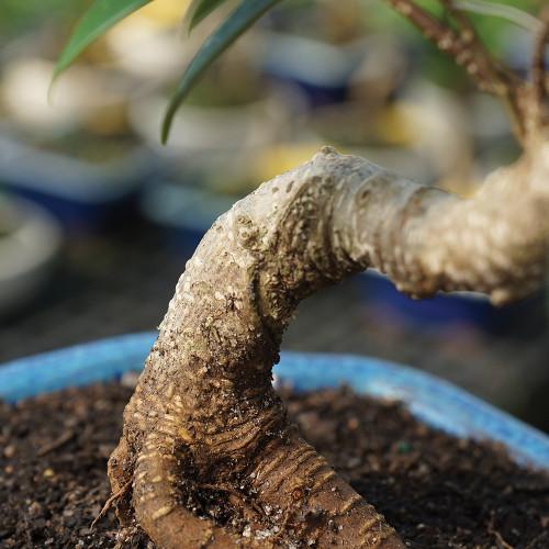 Medium Size Golden Gate Ficus Bonsai Tree Trunk Image