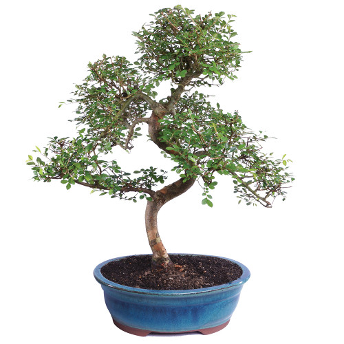 Large Chinese Elm Bonsai Tree