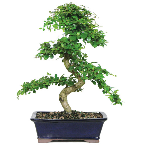 Large Size Fukien Tea Bonsai Tree