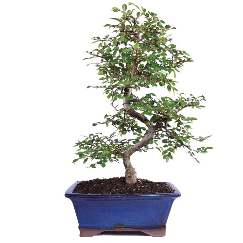 Chinese Elm - CT9006CE