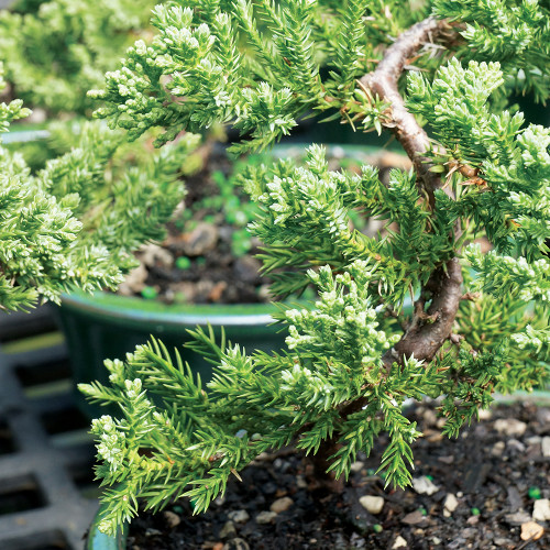 Small Green Mound Juniper Bonsai Tree Close Up Image