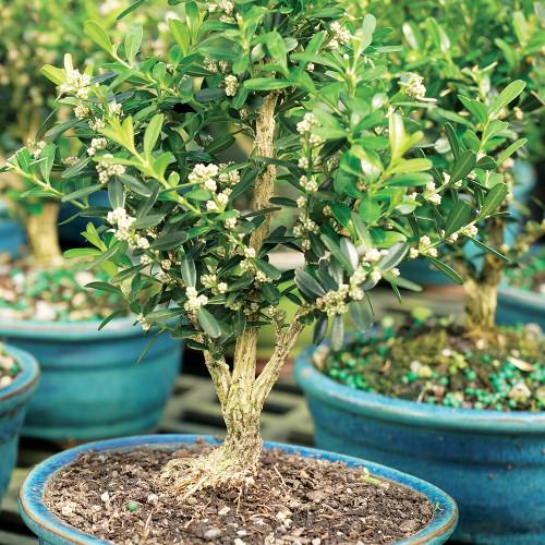 Harland Boxwood (Buxus Harlandii) Indoor Bonsai