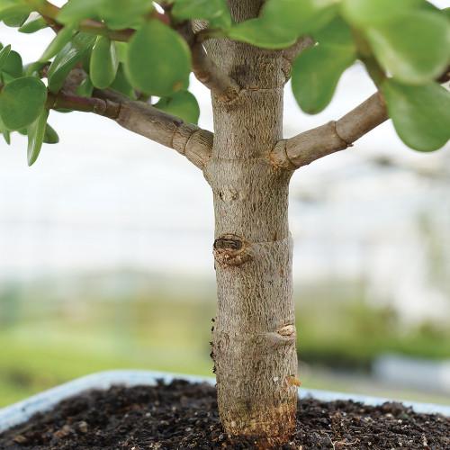 Medium Size Dwarf Jade Bonsai Tree Trunk View
