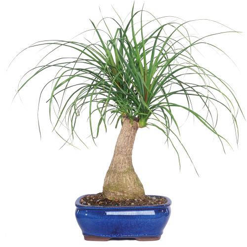 sago palm bonsai care instructions