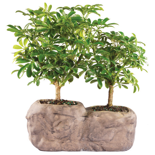 Hawaiian Umbrella  In Rock Pot - DT8002ARBR