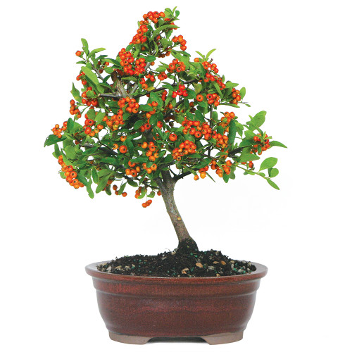Small Size Dwarf Pyracantha Bonsai Tree